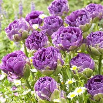 Тюльпан махровый Блю Вау изображение 2