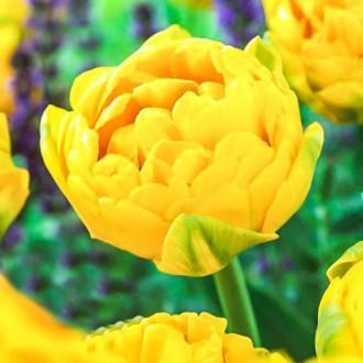 Тюльпан махровый Голд Февер изображение 8