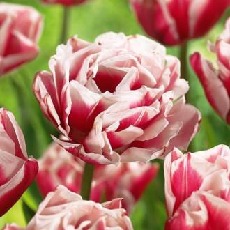 Тюльпан махровый Хоризон изображение 8