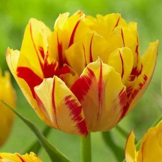Тюльпан махровый Монселла изображение 4