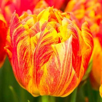 Тюльпан махровый Монте Флейм изображение 7
