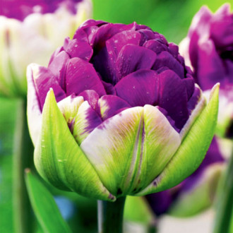 Тюльпан махровый Дабл Негрита изображение 1