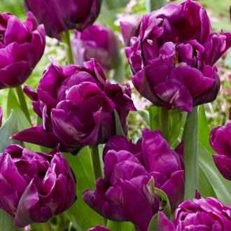 Тюльпан махровый Перпл Джекет изображение 8