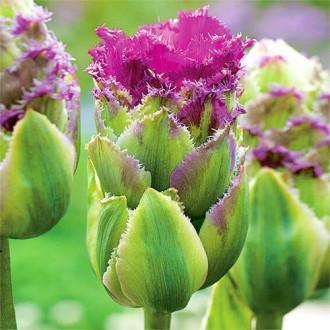 Тюльпан махровый Перпл Тауэр изображение 3