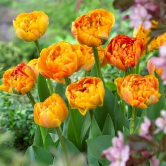 Тюльпан махровый Санловер изображение 3
