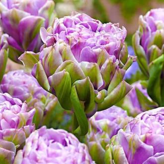 Тюльпан махровый Вайолет Прана изображение 8
