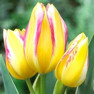Тюльпан многоцветковый Антуанетта изображение 2