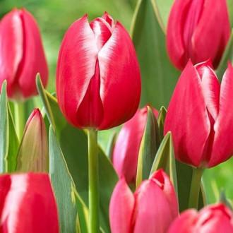 Тюльпан многоцветковый Драгон Кинг изображение 6