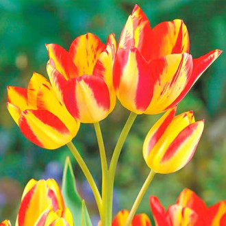Тюльпан многоцветковый Флоретте изображение 8
