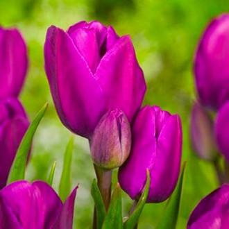 Тюльпан многоцветковый Пурпл Букет изображение 5