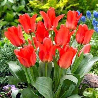 Тюльпан Грейга Ориентал Бьюти изображение 2
