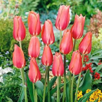 Тюльпан Перестройка изображение 5