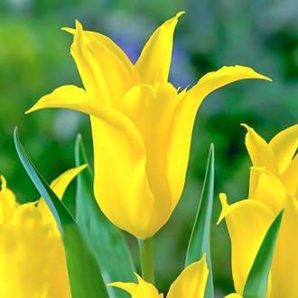 Тюльпан зеленоцветный Дансинг Шоу изображение 3