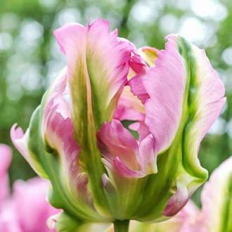 Тюльпан попугайный Грин Вейв изображение 7
