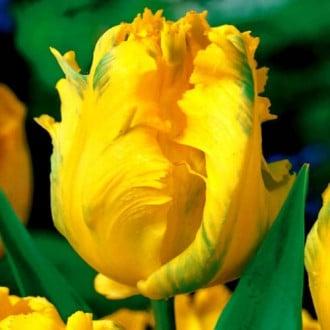 Тюльпан попугайный Йоко Пэррот изображение 4