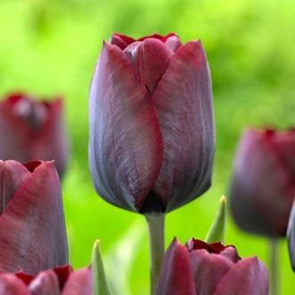 Тюльпан Триумф Роналдо изображение 7