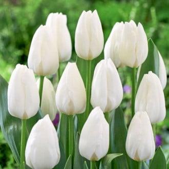 Тюльпан Триумф Роял Вирджин изображение 2