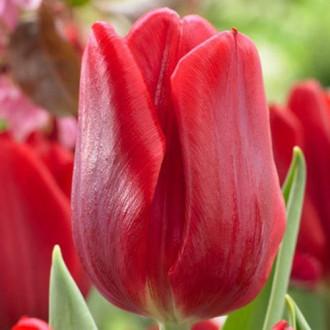 Тюльпан Руби Принц изображение 4