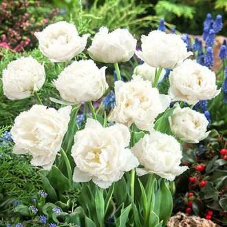 Тюльпан бахромчатый Сноу Кристал изображение 1