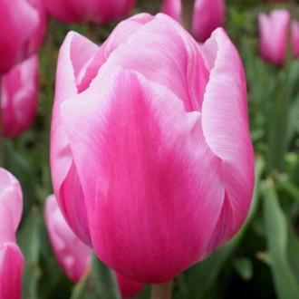 Тюльпан Триумф Болрей Прайс изображение 7