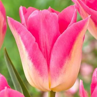 Тюльпан Триумф Роял Тен изображение 6