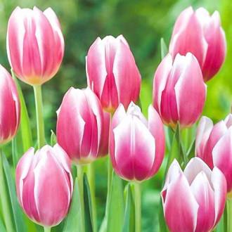 Тюльпан Триумф Синаеда Блю изображение 4