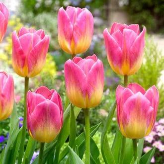 Тюльпан Триумф Том Паус изображение 8