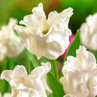 Тюльпан Триумф Вайт Либерстар изображение 5