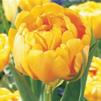 Тюльпан махровый Йеллоу Помпонетт изображение 1