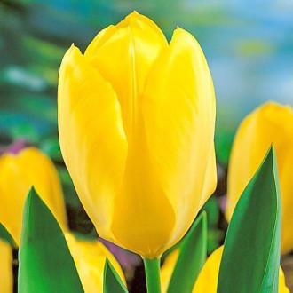 Тюльпан Фостера Йеллоу Пуриссима изображение 5