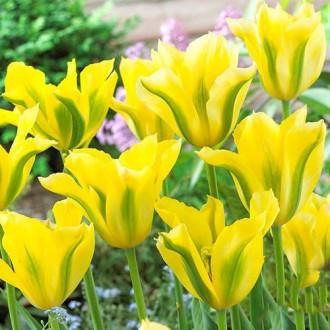 Тюльпан зеленоцветный Йеллоу Спринг Грин изображение 6