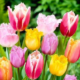 Тюльпаны бахромчатые, микс изображение 5