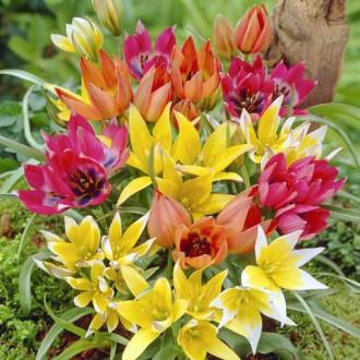 Тюльпаны ботанические, микс изображение 7