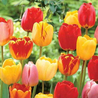 Тюльпаны Дарвина Ангел, микс изображение 1