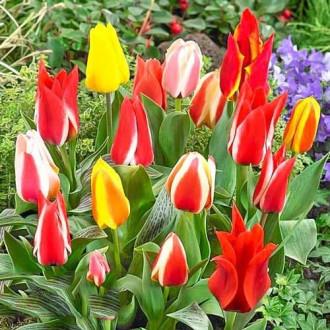 Тюльпаны Грейга, микс изображение 3