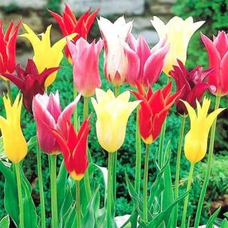 Тюльпаны лилиецветные, микс изображение 5