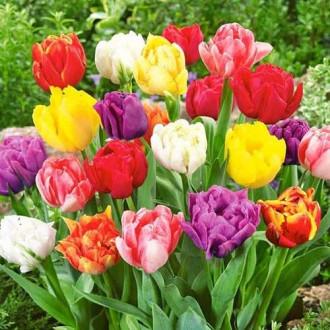Тюльпаны махровые, микс изображение 7