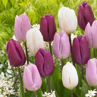 Тюльпаны Принц, микс изображение 8