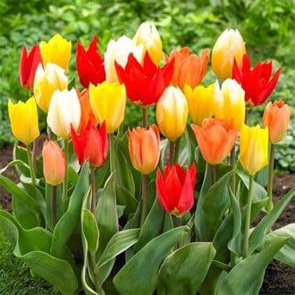 Тюльпаны Триумф, микс изображение 1