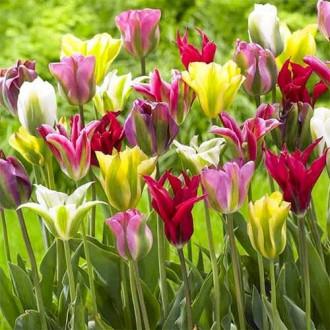 Тюльпаны зеленоцветные, микс изображение 3