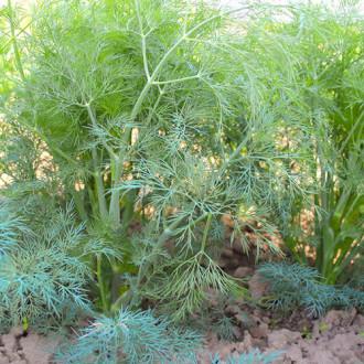 Укроп Владыка Premium Seeds изображение 6