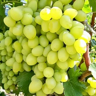 Виноград Аркадия изображение 4