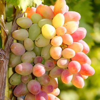 Виноград Арочный изображение 4