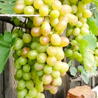 Виноград Августин изображение 2