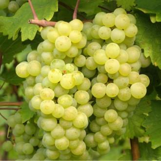 Виноград Бианка изображение 6