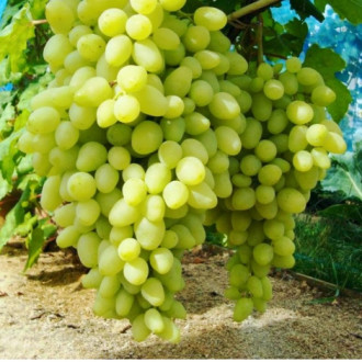 Виноград Долгожданный изображение 7