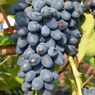 Виноград Фуршетный изображение 5