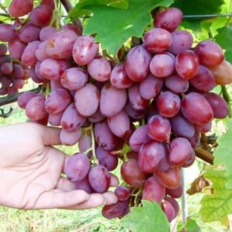 Виноград Граф Монте Кристо изображение 1