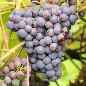 Виноград Изабелла изображение 5