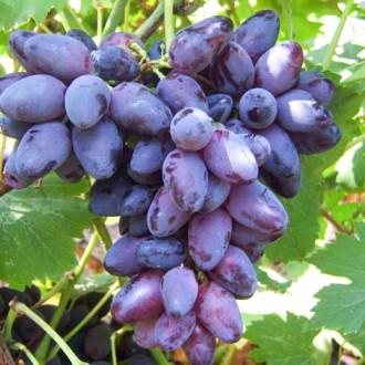 Виноград Кармен изображение 3